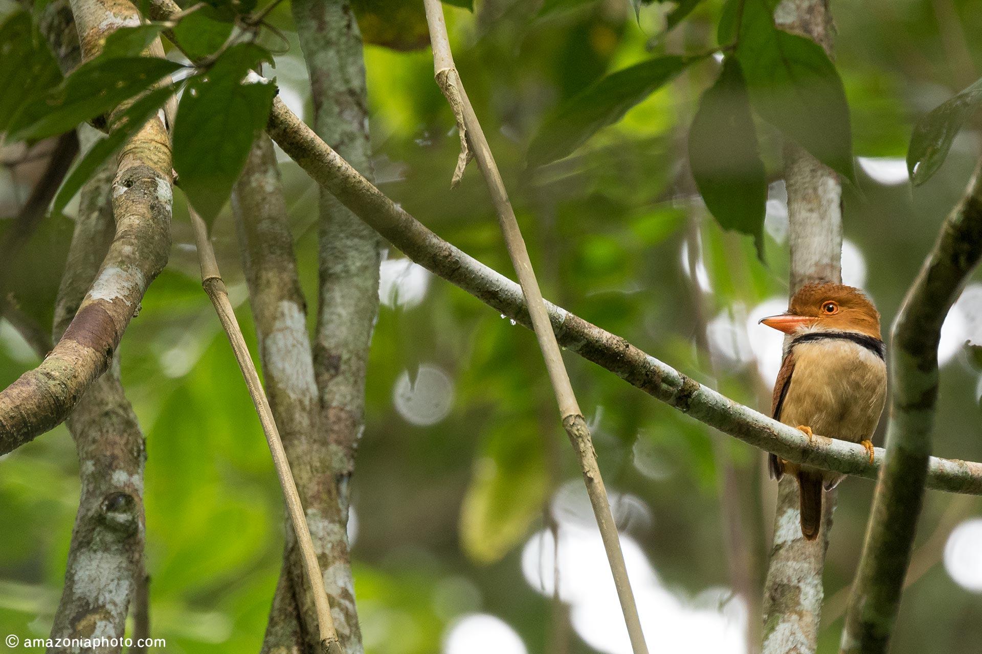 Collared Puffbird (Bucco capensis).