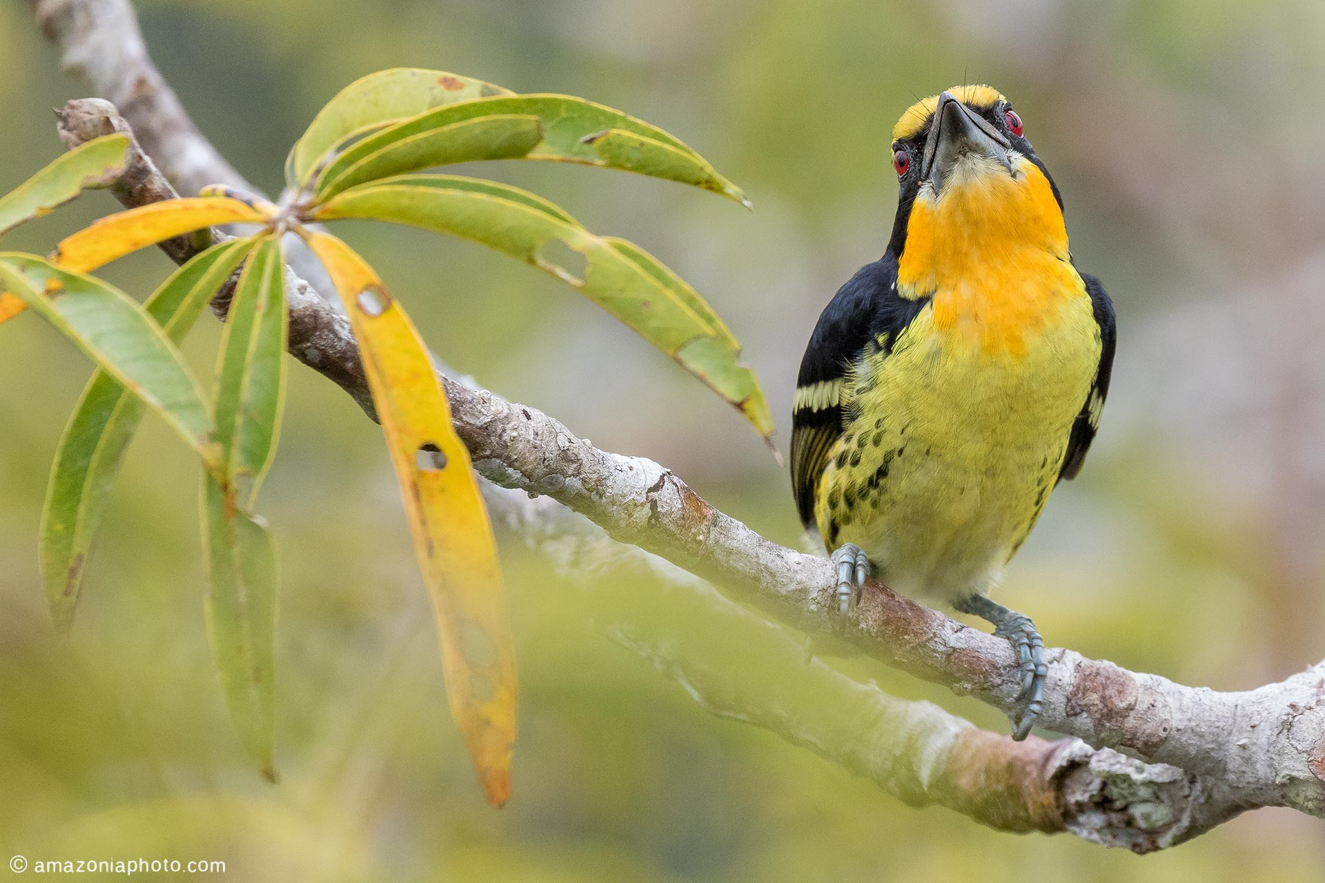 Gilded Barbet (Capito auratus)