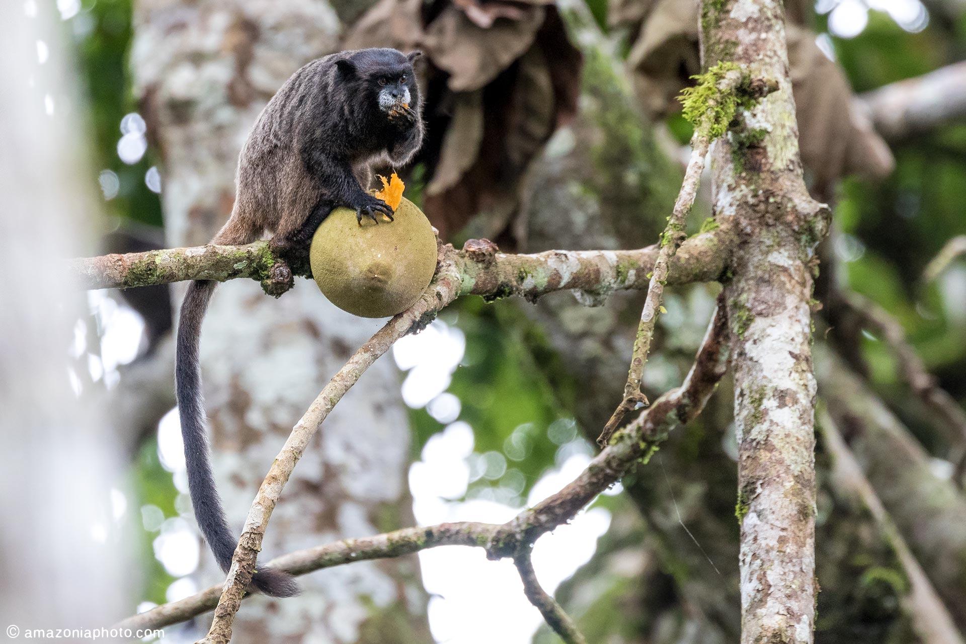 Black-mantled Tamarin (Leontocebus nigricollis)