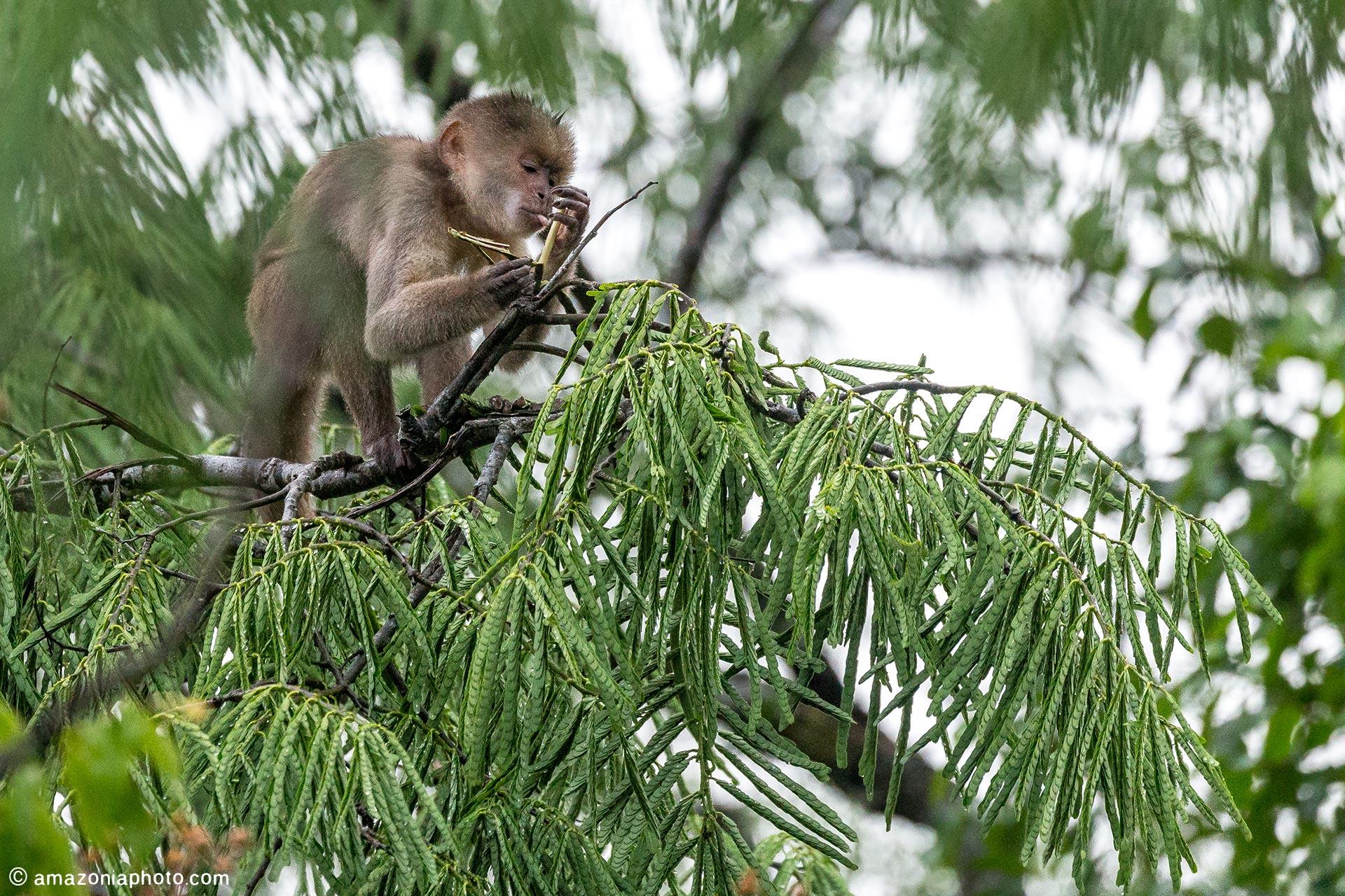 Capuchin Monkey (Cebus yuracus)