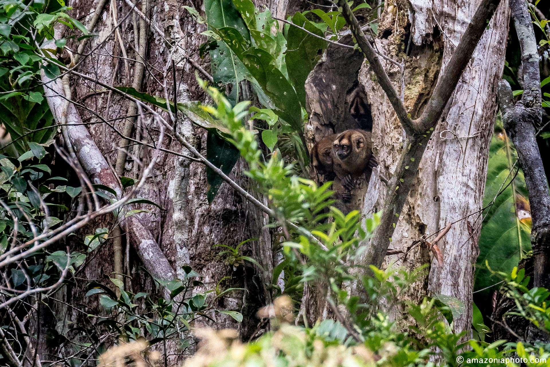 Spix's night monkey (Aotus vociferans)