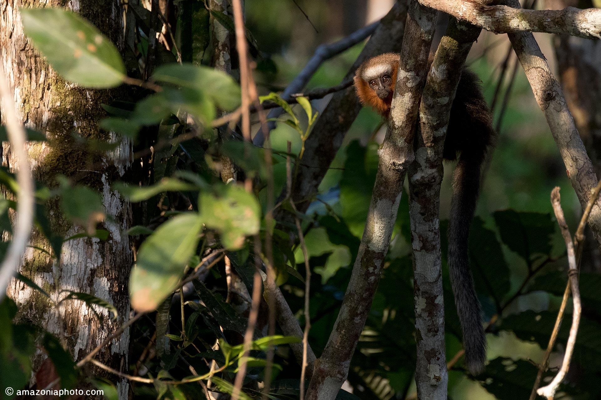 White-tailed Titi (Callicebus discolor)